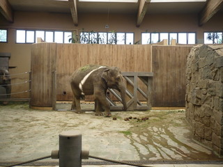 Indian elephant - zoological garden on Ostrava