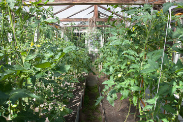 rustic greenhouse with green tomatoes