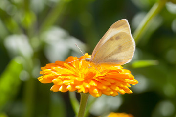 White butterfly on marigold flower