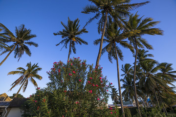 Coconut trees on Mont-Choisy beach,  in Mauritius island