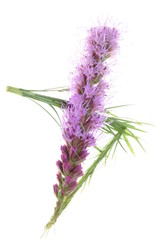 Liatris spicata flower head isolated on white background