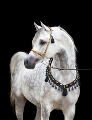 Arabian gray horse on black background