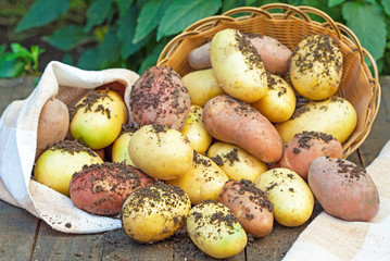 Raw potatoes in burlap bag and basket