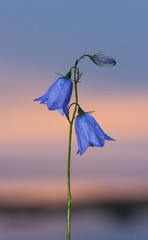 Closeup of a bluebell flower at sunset