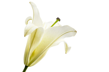 White Lily isolated on white, Clipping path included