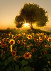 Sunflower Field, 3d CG