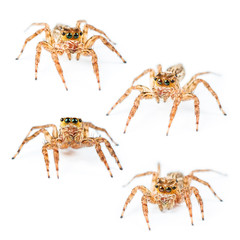 Jumping spider Female Plexippus petersi on white background