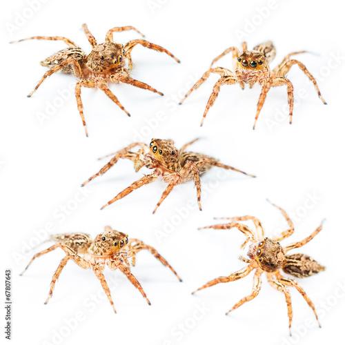 Jumping spider Female Plexippus petersi on white background - 67807643