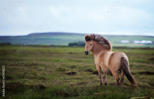In de dag Paarden Icelandic Horse