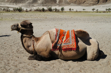 Bactrian camels in Himalayas. Hunder village, Nubra Valley, Indi