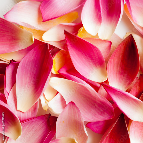 Fotobehang Lotusbloem Lotus petal on white background with area for your text