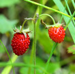 ripe berries of wild strawberry - macro
