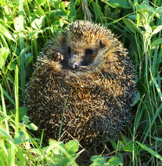 hedgehog curled in the grass