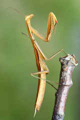 mantis on branch of tree - macro
