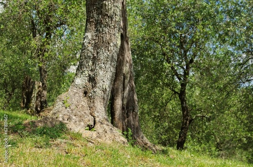 Olivenbaum Stamm - olive tree trunk 25