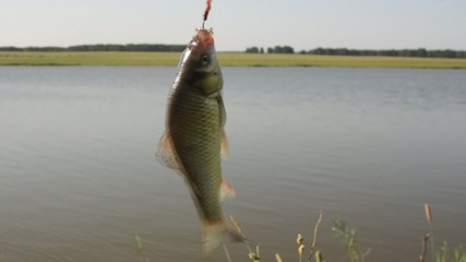 Fishing. Caught fish on a hook