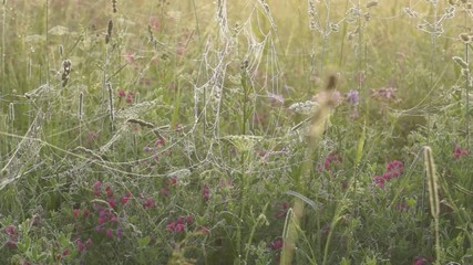 Morning meadow with wet spider webs on grass