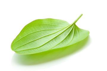Arrow Head Amason leaf, Sagittaria lancifolia L , ALISMATACEAE
