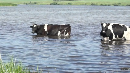 Cow went into the water on a hot summer day because of heat