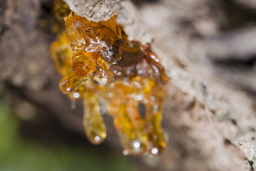 tree natural resin