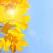 Yellow Maple Leaves against Blue Sky background with Sun - Autum