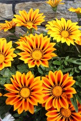 Flowers gatsaniya bloom in the garden