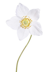 Beautiful delicate flower isolated on white background