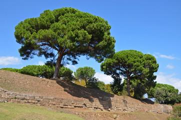 Giant pine trees (Pinus pinea)