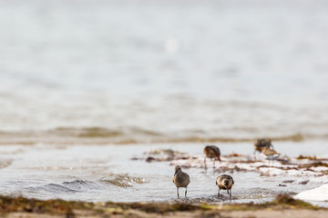 Red knot at the beach