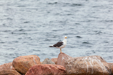 Great black-backed gull