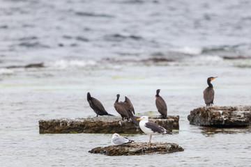 Cormorant sitting on a rock