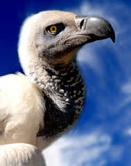 vulture. Cape vulture closeup