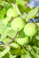 Beautiful organic green apples on branch in garden
