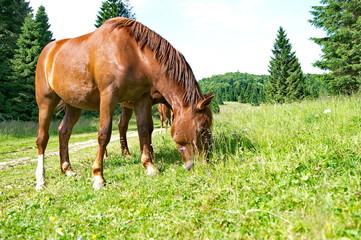 Brown horses grazing green grass