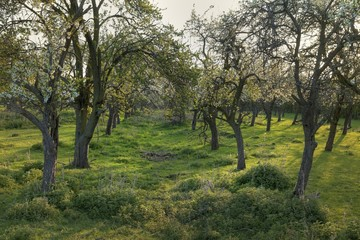 Old English orchard