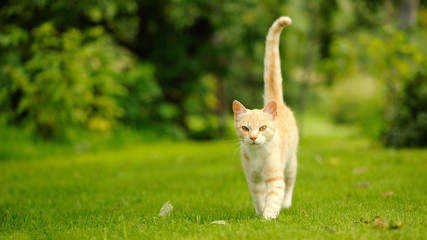 Graceful Cat Walking on Green Grass (16:9 Aspect Ratio)