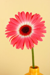 Beautiful Gerber flower on light background