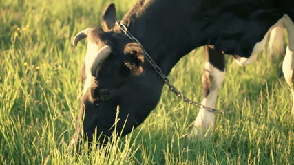 Video of cow. It is eating  grass on the sunset
