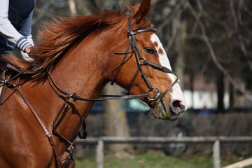Chestnut horse portrait with bridle during competition
