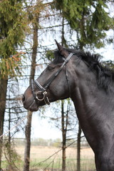 Portrait of black sport horse with bridle