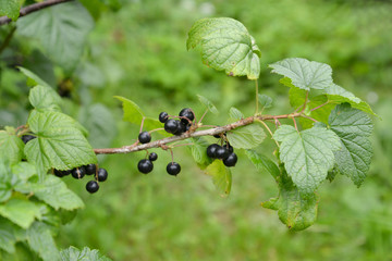Berries of black currant hang on a branch (Ribes nigrum L. )