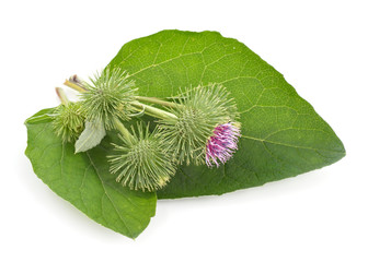 Burdock isolated on white background