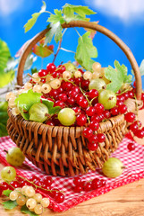 basket of fresh red,white currant and gooseberry