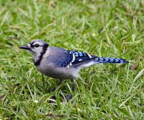 Close Up of Blue Jay