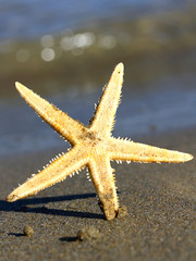 beautiful and giant sea Star Ocean Beach photographed
