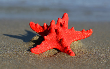 red starfish with sturdy armor on the beach