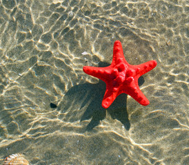 great and rare red starfish floating on the ocean water