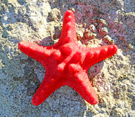 rare red starfish in the ocean sand