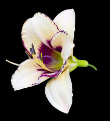lily on a black background