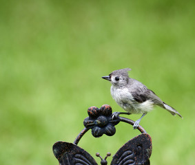 Close up of Titmouse